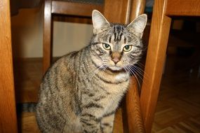 Cut domestic cat sits under chair