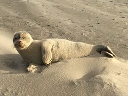 seal lies on the sand