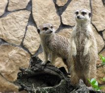 meerkats in the zoological garden