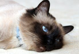 tired beautiful burmese cat