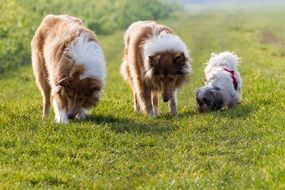 two collies and a small dog on a meadow