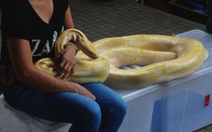 yellow python in the hands of the trainer