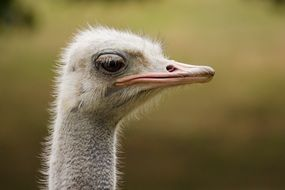 funny Ostrich head portrait