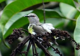 Tropical Purple-Rumped Sunbird