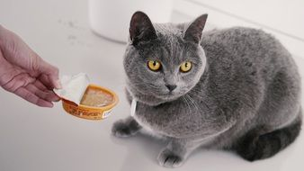 domestic grey cat