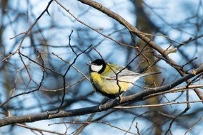 great tit perched bare branch