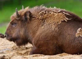 Cute buffalo is laying