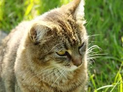 tiger cat sitting on green grass