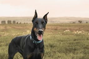 portrait of a strong doberman