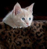 playful young cat with blue eyes