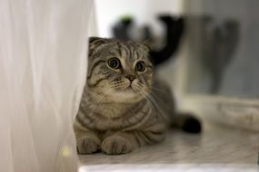Scottish Fold Cat lays on floor