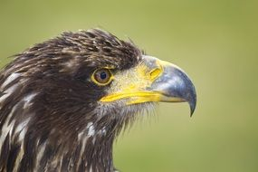 profile of an eagle
