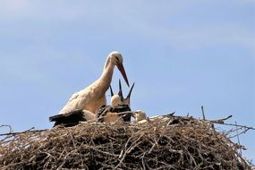 Stork in the Nest with chicks