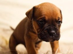 Cute Brown Puppy Dog with big head
