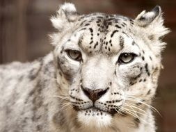 head of snow leopard