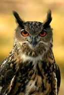 portrait of a looking eurasian eagle owl