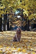 Golden Retriever in autumn