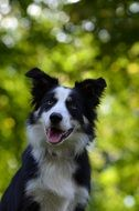 black and white Border Collie outdoor