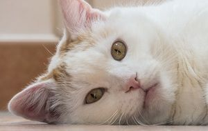 white domestic Cat portrait