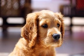 Portrait of golden puppy