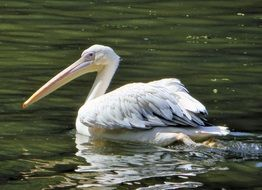 white pelican swims on the river