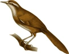 painted brown bird with a long tail