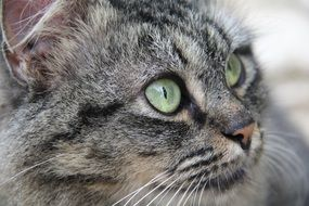 gray cat with green eyes close-up