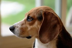 incredibly beautiful Beagle Dog