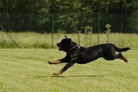 rottweiler runs through a green meadow