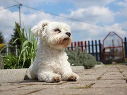 White small Maltese dog