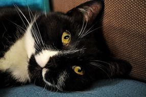 portrait of a sweet black and white cat