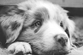 black and white photo of australian shepherd