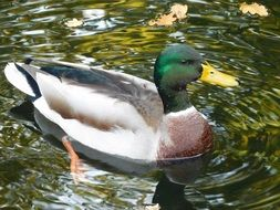 Duck with green head on Water
