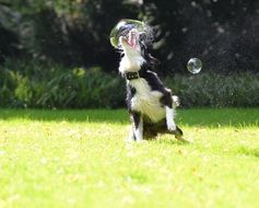 funny dog playing with soap bubbles