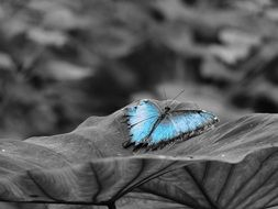 blue butterfly on the black and white background