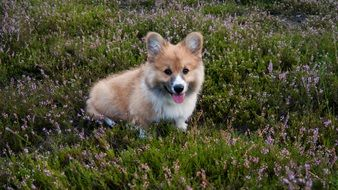 Welschcorgi, cute red Dog on meadow