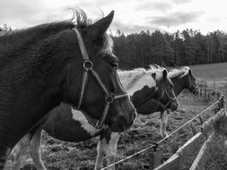 Black and white photo of horses near the fence