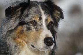 portrait of a cute australian shepherd