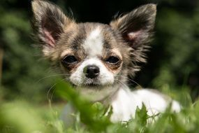 Chihuahua puppy on grass