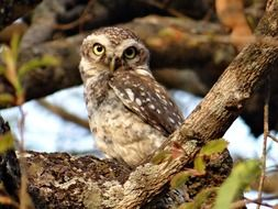 Spotted Owlet or Athene brama in wild, india