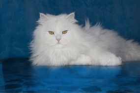 fluffy white cat against a blue wall