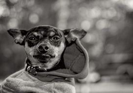 Miniature Pinscher in costume