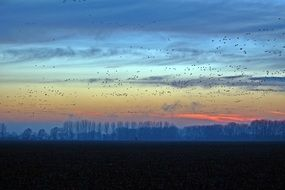 flocks of wild geese in the blue evening sky