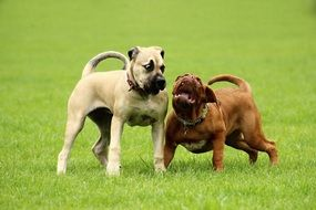 two thoroughbred dogs playing on the green lawn
