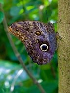 brown butterfly with eye spots in wildlife
