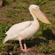 pink Pelican stands on ground
