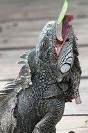 iguana eating leaf
