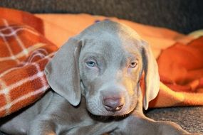 Beautiful weimaraner dog
