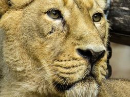 portrait of a lion in Nuremberg zoo