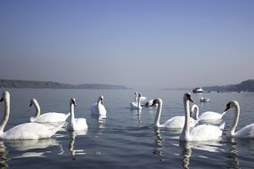 many white swans on the water